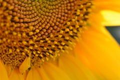 Particules de poudre de pollen Photographie stock