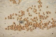 Partido de los pequeños cangrejos Foto de archivo libre de regalías