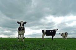 Partido de vacas en prado imagenes de archivo
