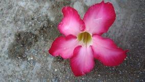 Partido húmedo rosado de la flor del calachuchi para el verano imagen de archivo