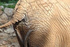 Partie arrière d'éléphant africain Photos libres de droits