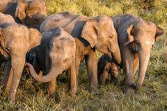 Partie sauvage de famille d'éléphant Photographie stock