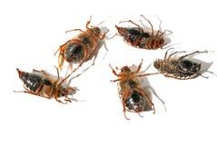 partie supérieure menteuse du bas cinq morts de coléoptères Photo libre de droits