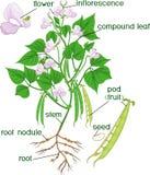Parties d'usine Morphologie de plante de haricot avec le système, les fleurs, les cosses et les titres de racine illustration libre de droits