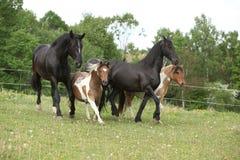 Partij van het kleine en grote paarden lopen Stock Afbeelding