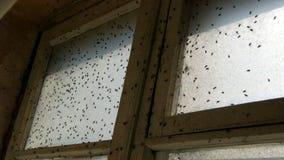 Partij van huisvlieg of Musca-domestica die op een oud vuil wijnoogst verlaten venster vliegen Velen huisvesten vlieg die in een  stock videobeelden