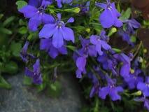 Partij van kleine blauwe bloemen rond de grijze steen Royalty-vrije Stock Foto's