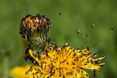 Partij van vliegen op bloempaardebloem 1 Stock Afbeelding