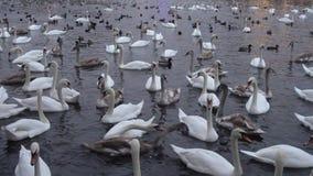 Partij van zwanen en eenden in de rivier Vltava stock video