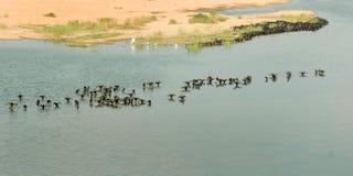 Partij van zwarte vogels die in het rivierwater baden Stock Fotografie