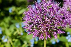 Partiskt foto för närbild av den purpurfärgade Alliumblomningen fotografering för bildbyråer