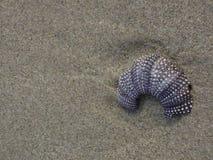 Partiskt purpurfärgat skal för havsgatubarn på stranden Royaltyfri Bild