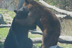 Partita lottante degli orsi neri Fotografia Stock