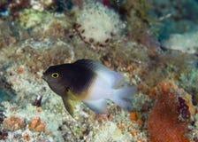 Partitus bicolore del damselfish-Stegastes fotografia stock libera da diritti