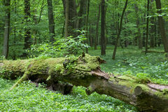 Partly declined dead tree lying. Among forest plants stock photos
