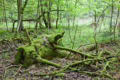 Partly declined part of trunk. Lying moss wrapped Royalty Free Stock Images