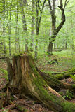 Partly declined stump. And young forest in background Royalty Free Stock Photography