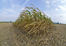 Partly harvested corn field Royalty Free Stock Image