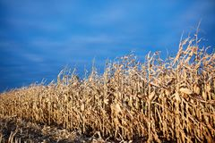 Partly harvested rows of dried maize plants Royalty Free Stock Photography