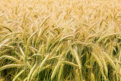 Partly ripened grains in a field - closeup Royalty Free Stock Image