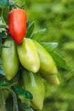 Partly ripened San Marzano tomatos in a vegetable garden Stock Photos