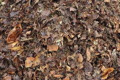 Partly rotted leaves turning into leafmould. Recycling leaves, partly rotted autumn fall garden leaves forming leafmould for use in the garden as a potting mix Royalty Free Stock Images