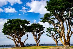 Partly Sunny Day at Embarcadero Park. Eucalyptus trees at Embarcadero Park in San Diego royalty free stock images