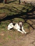 Partner. Best friend German shorthair dog Royalty Free Stock Photo