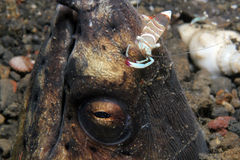 Partner Shrimp on the Head of a Snake Eel Royalty Free Stock Images
