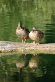 Partners. A pair of ducks with their reflections on the water Stock Image