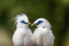 Partners. Portrait of 2 birds. Bird species: Bali starling Stock Image
