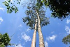 Parträd i Kaowyai Thailand Royaltyfri Fotografi