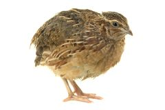 Partridge Royalty Free Stock Photos