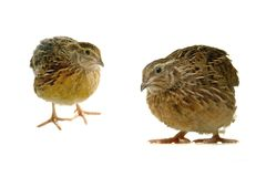 Partridge Royalty Free Stock Images