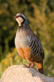 Partridge Stock Photo