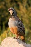 Partridge. Red-Legged Partridge (Alectoris rufa) of Spain Stock Photo