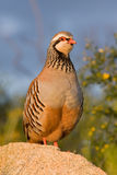 Partridge Stock Images