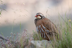 Partridge Royalty Free Stock Photography