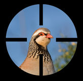 Partridge Royalty Free Stock Image