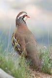 Partridge Stock Photo