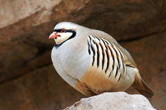 Partridge. A fat partridge stood on the rocks Royalty Free Stock Photos