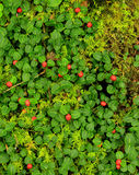 Partridge Berry. Fruiting partridge berry and mosses Stock Images