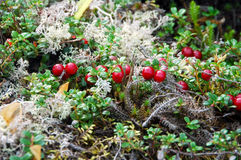 Partridge berry. Picture of partridge berry in Quebec,Canada Royalty Free Stock Images
