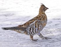 Partridge Bird. A partridge in the winter time walking Stock Photos