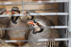 Partridge in Captivity, Stock Images