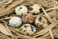 Partridge eggs Stock Images