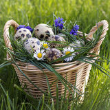 Partridge eggs in the basket full of flowers Royalty Free Stock Image