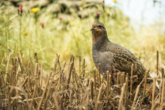 Partridge in the field Stock Images