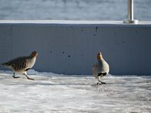 Partridge on the icy pavement Stock Images