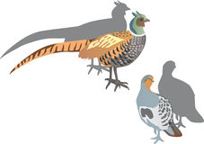 Partridge and pheasant illustration Stock Images